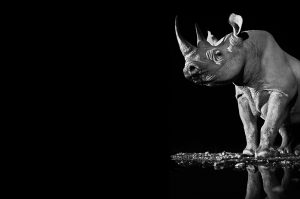 Tusk Rhino Trail 2018 Precious Credit David Yarrow